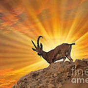 Nubian Ibex  Art Print