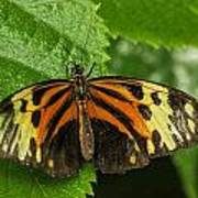 Numata Longwing Butterfly Art Print
