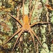 Nursery Web Spider Art Print