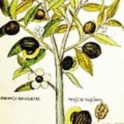Nutmeg Plant Botanical Art Print