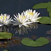 Nymphaea Odorata - Fragrant White Waterlilies Art Print