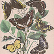 Nymphalidae - Danaidae Art Print
