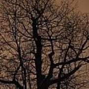 Oak Silhouette  Art Print