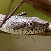 Oak Snake And Fly Art Print