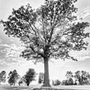 Oak Tree Bw Art Print
