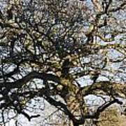 Oak Tree In Winter Art Print