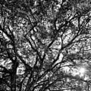 Oak's Web Art Print