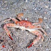 Ocellate Swimming Crab Art Print