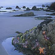 Ochre Sea Stars At Low Tide Miwok Beach Art Print