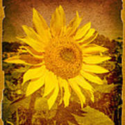 Of Sunflowers Past Art Print