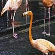 Oil Painting - Focus On A Single Flamingo Inside The Jurong Bird Park Art Print
