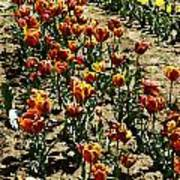 Oil Painting - Red And Yellow Tulips Inside The Tulip Garden In Srinagar Art Print