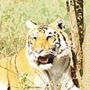 Oil Painting - An Alert Tiger Art Print