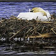 Oil Painting Nesting Swan Michigan Art Print