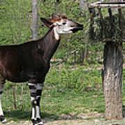 Okapi Art Print