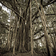 Old Banyan Tree Art Print by Adam Romanowicz
