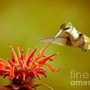 Old Fashioned Hummingbird Art Print