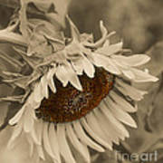 Old Fashioned Sunflower Art Print