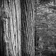 Old Growth Cedars Glacier National Park Bw Art Print