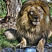 Old King Lion Art Print