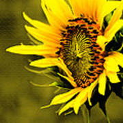 Old Time Sunflower Art Print