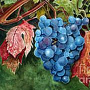Old Vine Zinfandel Art Print