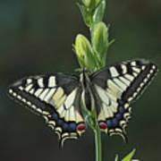 Oldworld Swallowtail Butterfly Art Print