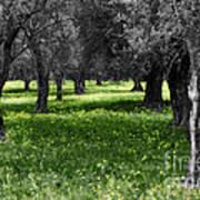 Olive Grove Italy Cbw Art Print