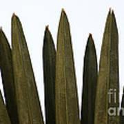 Olive Palm Art Print