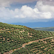 Olive Trees In A Field, Ubeda, Jaen Art Print