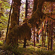 Olympic National Park - Rainforest Art Print