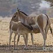 Onager Equus Hemionus 2 Art Print