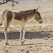 Onager Equus Hemionus Art Print