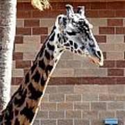 One Giraffe Art Print