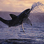 One Great White Shark Jumping Out Of Ocean In An Attack At Dusk Art Print by Brandon Cole