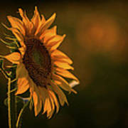 One Sunflower Art Print