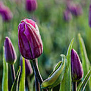 One Tulip Among Many Art Print