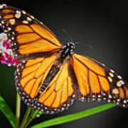 Open Wings Monarch Butterfly Art Print