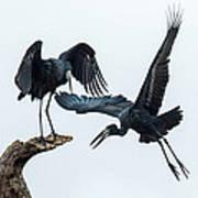 Openbill Storks Flying, Tarangire Art Print