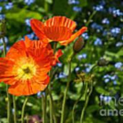 Orange And Blue - Beautiful Spring Orange Poppy Flowers In Bloom. Art Print