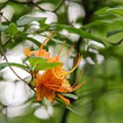 Orange Azalea Delight Art Print