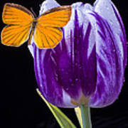 Orange Butterfly On Purple Tulip Art Print
