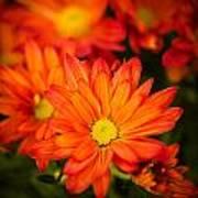 Orange Chrysanthemum Art Print