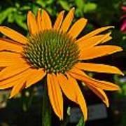 Orange Cone Flower Art Print
