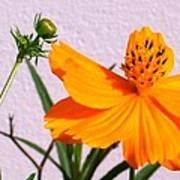 Neon Bright Orange Cosmos Art Print
