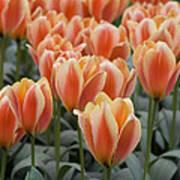 Orange Dutch Tulips Art Print
