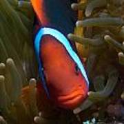 Orange Face Anemonefish Art Print