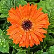 Orange Gerber Daisy 2 Art Print