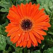Orange Gerber Daisy 3 Art Print