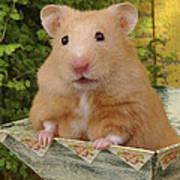 Orange Hamster Ha106 Art Print